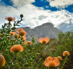 Obraz na Szkle Pincushion Protea flowers with Table Mountain in the background, Cape Town, South Africa
