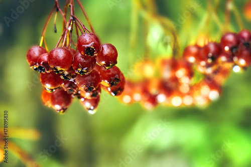 Fotografie, Obraz  Bunch of ripe rowanberry after cold autumn rain