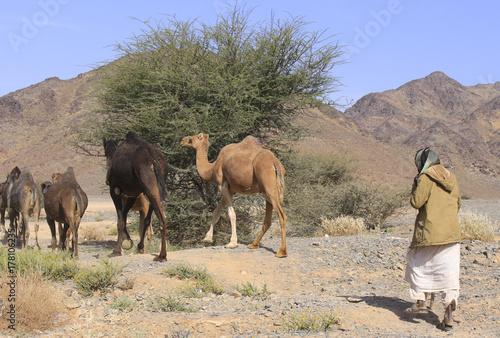 Fototapeta wielbłądy