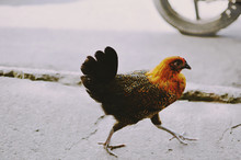 Chicken Crossing A Road