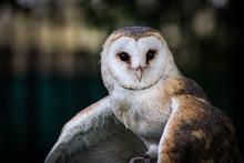 Common Barn Owl (Tyto Alba) Po...