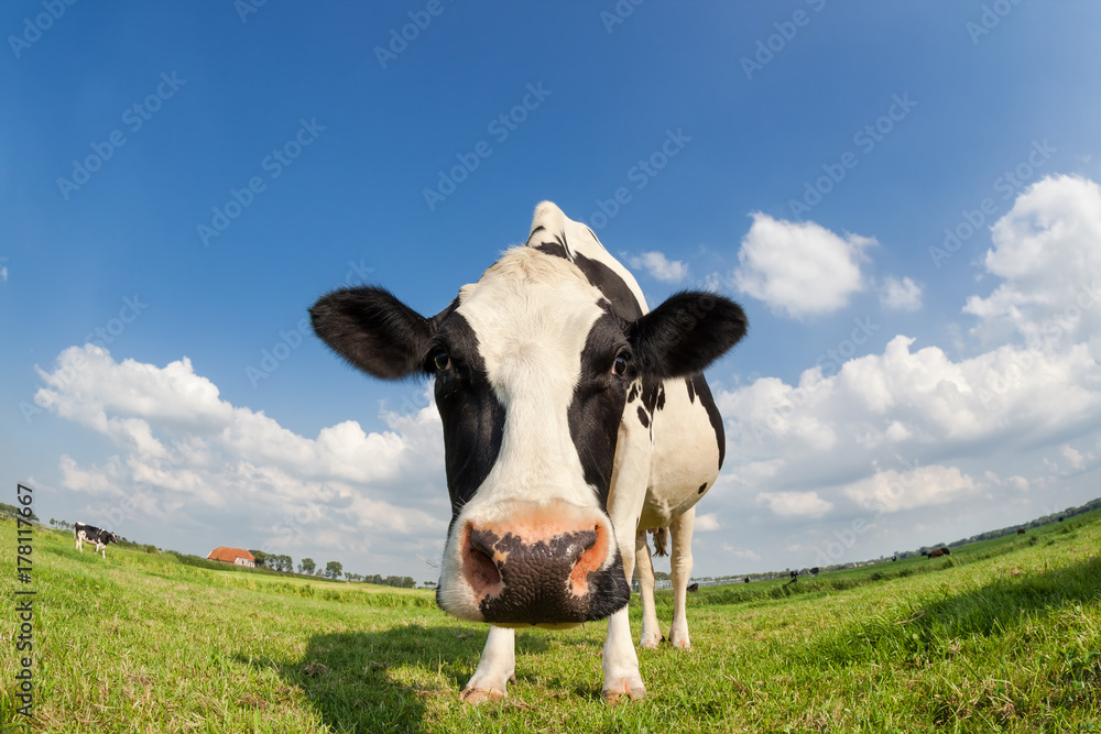 Fototapeta funny close up cow on green grass pasture