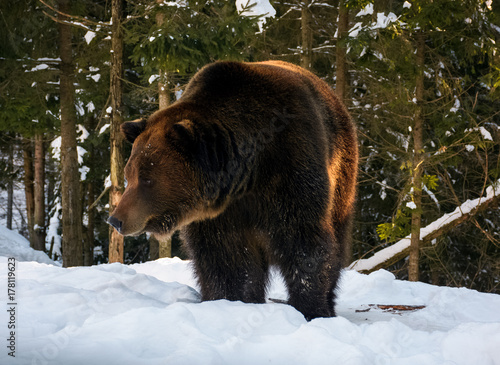 Plakát  old brown bear walking in the winter spruce forest