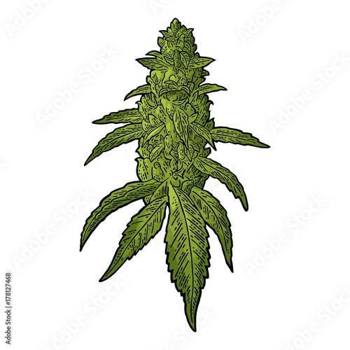 Marijuana mature plant with leaves and buds Canvas Print