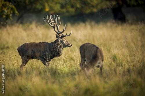 jelenie-sezon-lowiecki-jele