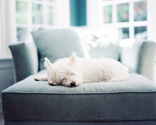 A Cute White Dog Resting On A Chair