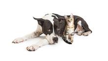 Big Dog Lying With Little Kitten
