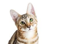 Closeup Cute Kitten Face