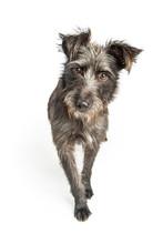 Curious Grey Shaggy Dog Walkin...