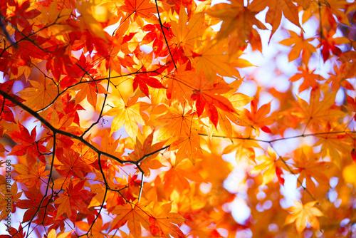Papiers peints Orange eclat 紅葉