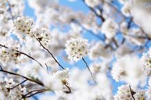 White Cherry Blossom With Blue Sky Background