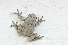 Grey Tree Frog Clinging To The...