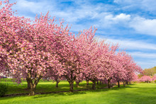 Cherry Tree Blossom Explosion On A Sunny April Morning, In Hurd Park, Dover, New Jersey.