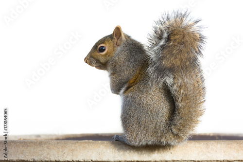 Spoed Foto op Canvas Eekhoorn Gray Squirrel