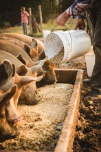 Farmer Feeding Pigs In Farm