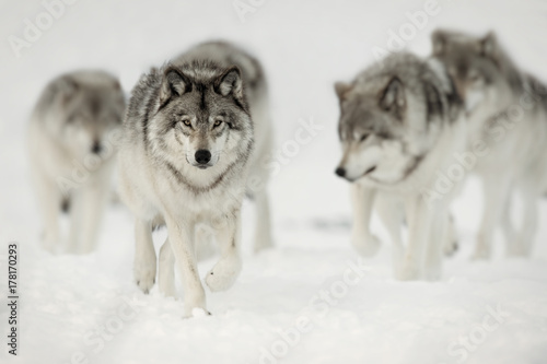 Aluminium Prints Wolf Wolf Pack on the Hunt