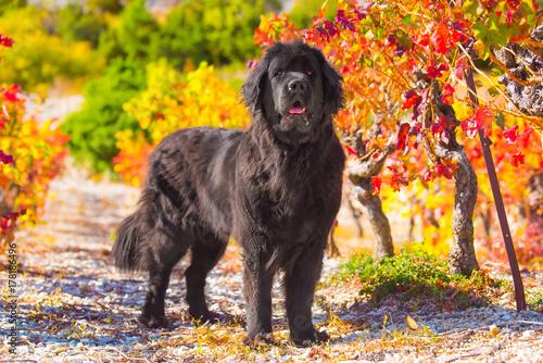 Fotografia newfoundland dog