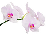 isolated branch with five light pink orchid blooms