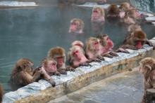 Snow Monkeys Relaxing Onsen In Hot Spring Pool In Hakodate ,Hokkaido,Japan In Winter Season.