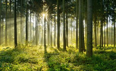 Fichtenwald im warmen Licht der Morgensonne