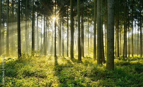 Garden Poster Forest Fichtenwald im warmen Licht der Morgensonne