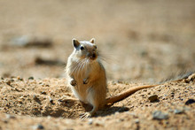 The Great Gerbil (Rhombomys Opimus).  The Great Gerbil Is A Large Gerbil Found Throughout Much Of Central Asia.