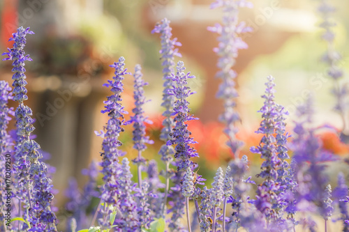 Plakat Purpurowa lawenda w ogródzie
