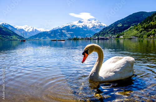 Cadres-photo bureau Cygne zeller see in austria