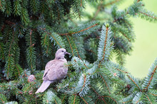 Young Eurasian Collared Dove Sitting On Spruce (Stretopelia Decaocto)