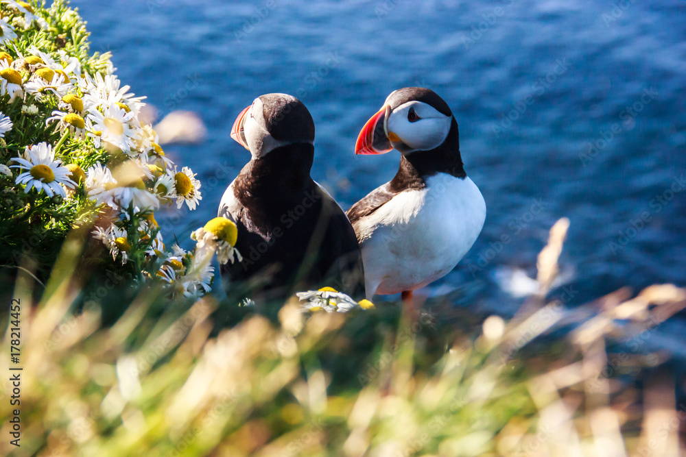 Fotografie, Obraz Icelandic Puffin bird couple standing in the flower bushes on the rocky cliff on a sunny day at Latrabjarg, Iceland, Europe