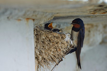 Nest Of Swallows. The Swallows...