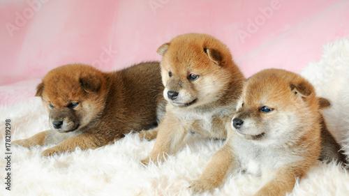 Fotografie, Obraz  三匹の柴犬の赤ちゃん