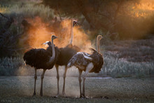 Ostrich Family. Two Males, Struthio Camelus, Trying To Attract Female. Dust Backlighted By Last Rays Of Setting Sun Create Nice African Wildlife Atmosphere. Nature Photography In Kalahari, Botswana