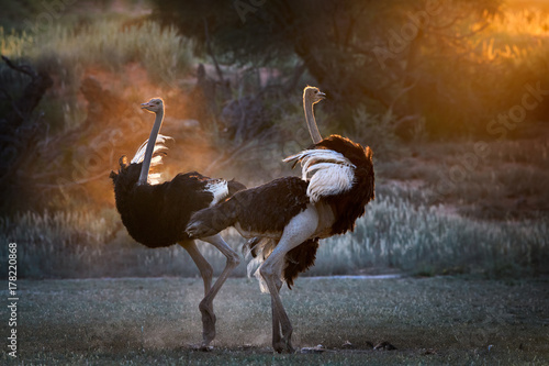 Dancing in the dust. Two Ostrich males, Struthio camelus, displaying each other in dust backlighted by last rays of setting sun creating african wildlife atmosphere. Nature photography in Kalahari.