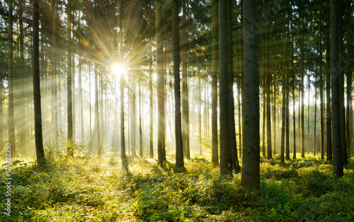 Papiers peints Forets Spruce Tree Forest, Sunbeams through Morning Fog