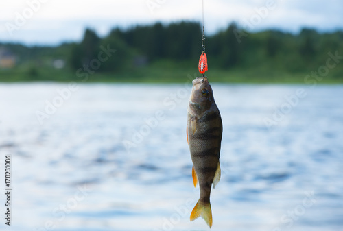 The сaught perch (Perca fluviatilis) is on the hook. A fish is on a fishing line against a background of a landscape.