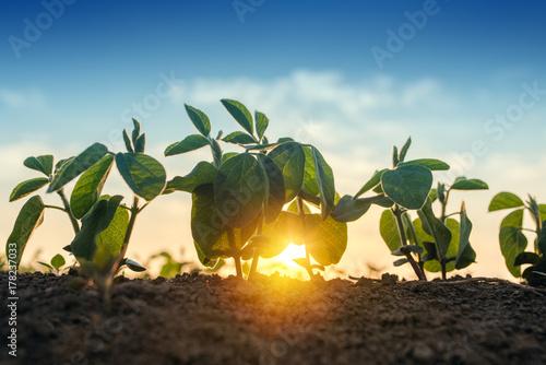Fotografia  Sunrise in soybean field