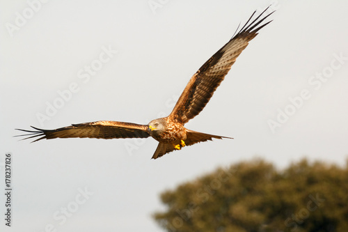 Awesome bird of prey in flight Canvas Print