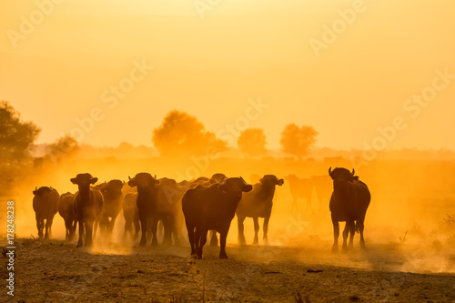 Spoed Foto op Canvas Marokko water buffalo grazing at sunset next to the river Strymon in Northern Greece.