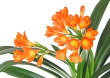 Fleurs De Clivia