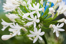 Agapanthus Campanulatus - Beautiful Flowers In Kew Gardens, London