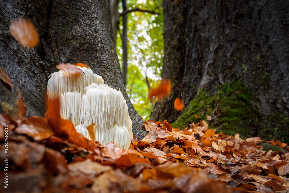 Fototapeta Rare Lion's mane mushroom in a Dutch forest