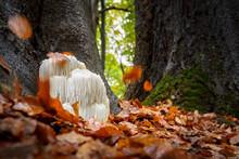Rare Lion's Mane Mushroom In A...
