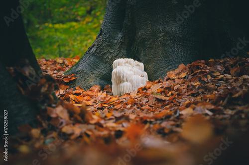Photo  Rare Lion's mane mushroom in a Dutch forest