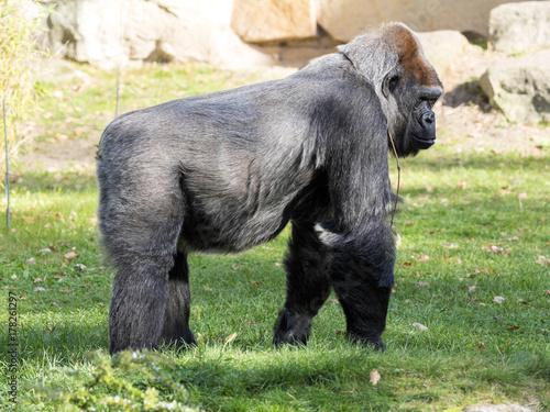 Photo sur Toile Singe Adult female Lowland Gorilla, Gorilla gorilla