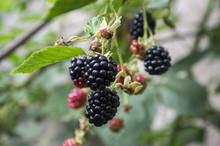 Rubus Fruticosus Big And Tasty Garden Blackberries, Black Ripened Fruits Berries On Branches