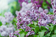 Branch of lilac flowers with green leaves, floral natural macro background