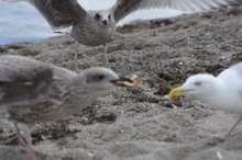 Fighting Gulls Attacked By Ano...
