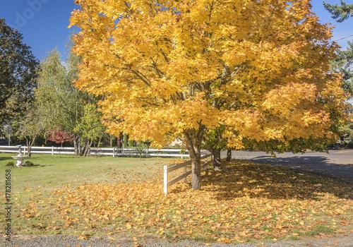 Foto op Plexiglas Landschappen Yellow tree in Autumn colors Silverton Oregon.