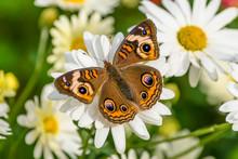 Buckeye Butterfly Junonia Coen...